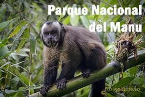 Mono en el P.N. del Manu